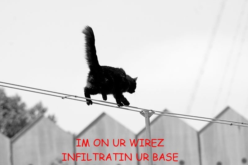 high wire cat
