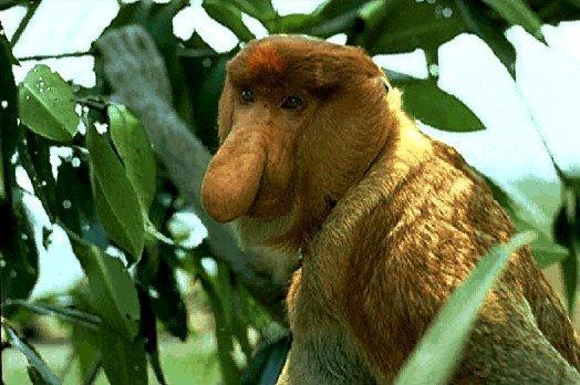 [Image: Proboscis-Monkey.jpg]