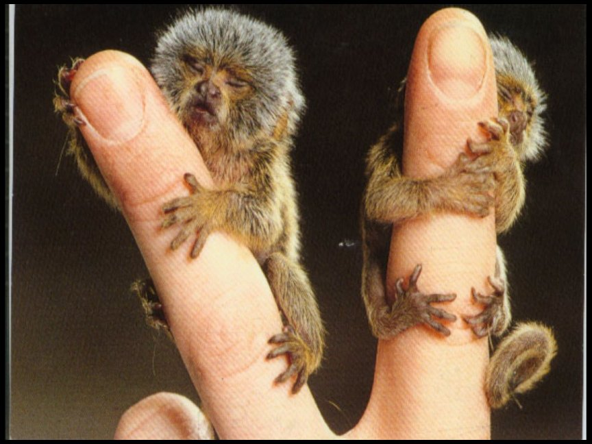 http://www.threadbombing.com/data/media/39/pygmy_marmoset_babies.jpg