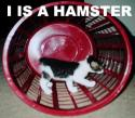 I is a hamster
